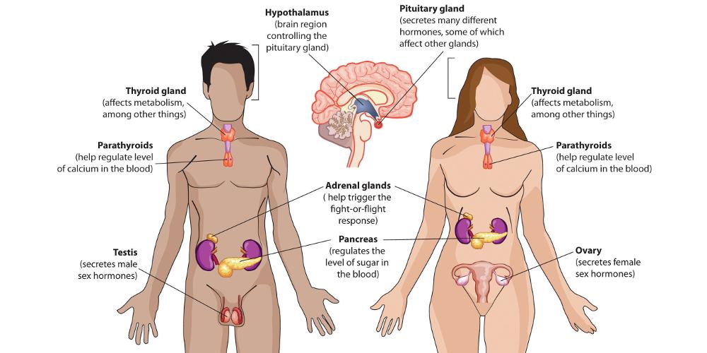 Уровни организации нейро-эндокринной системы