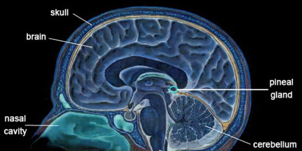 Эффекты эпифизарных гормонов