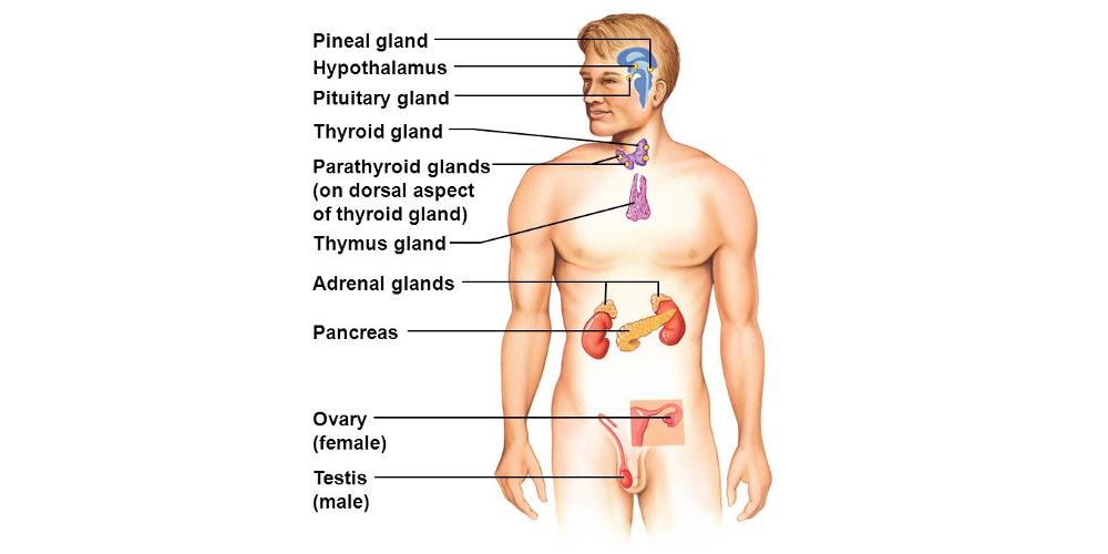 Особенности эндокринной программы развития в мужском организме
