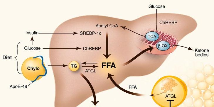 Окисление и синтез жиров
