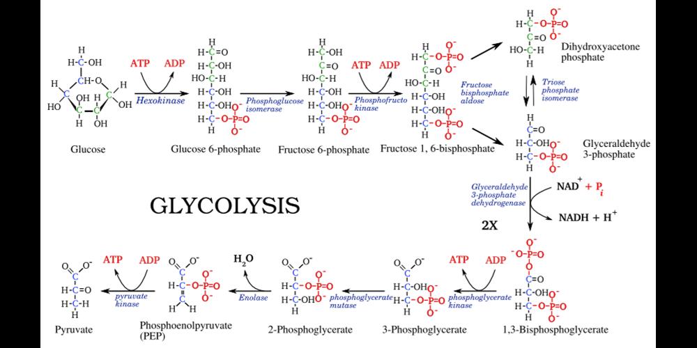 Ферментация глюкозы, или гликолиз в клетке