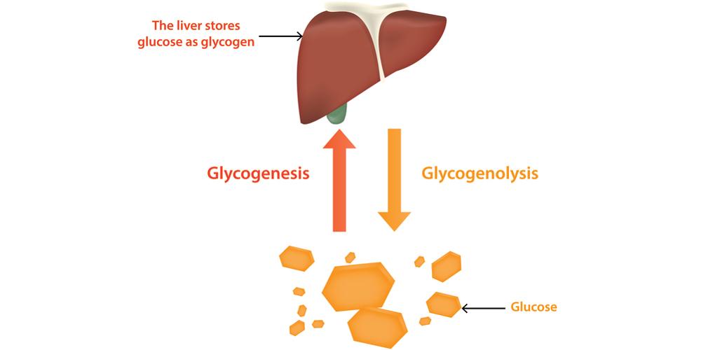 Гормоны периферических эндокринных желез — глюкагон