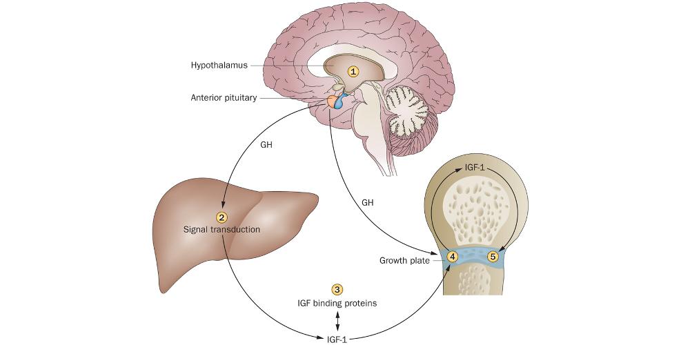Транспорт гормонов в организме человека