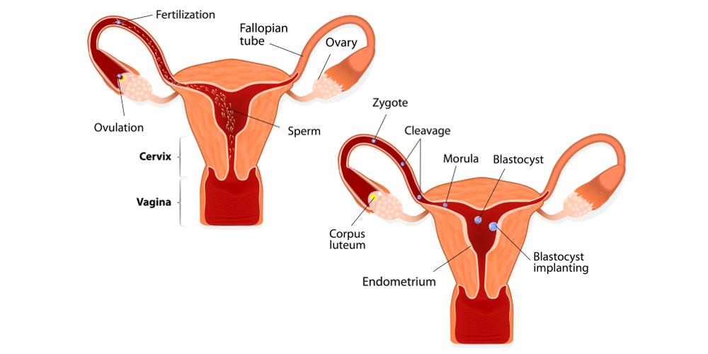 Взаимоотношения гипофизарных и половых гормонов в овуляторном цикле