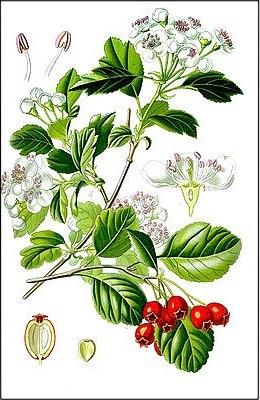 Растение боярышник
