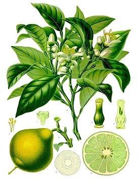 Цитрусовое растение Бергамот