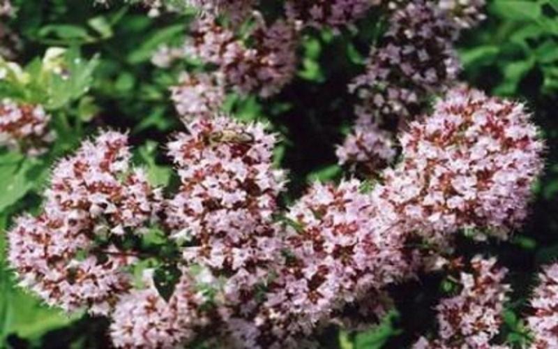 Гагения абиссинская или дерево козо