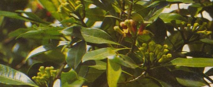 Гвоздичное дерево Caryophyllitios