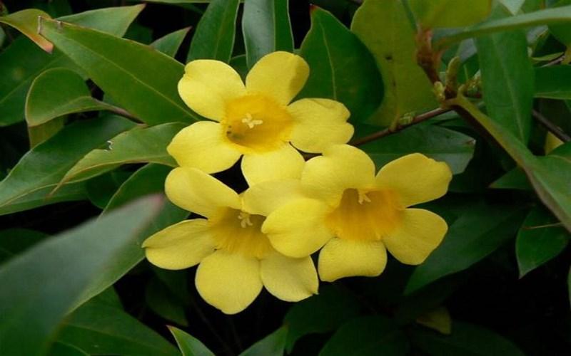 Жёлтый жасмин