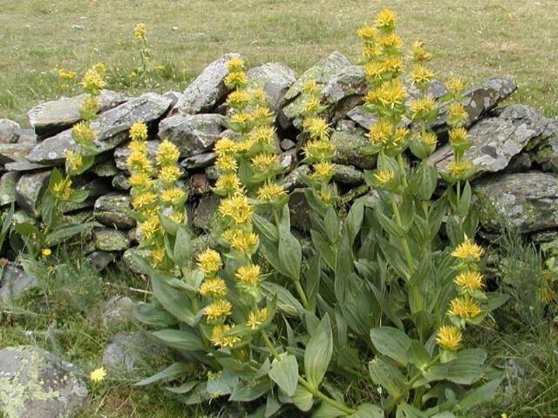 Растение горечавка жёлтая