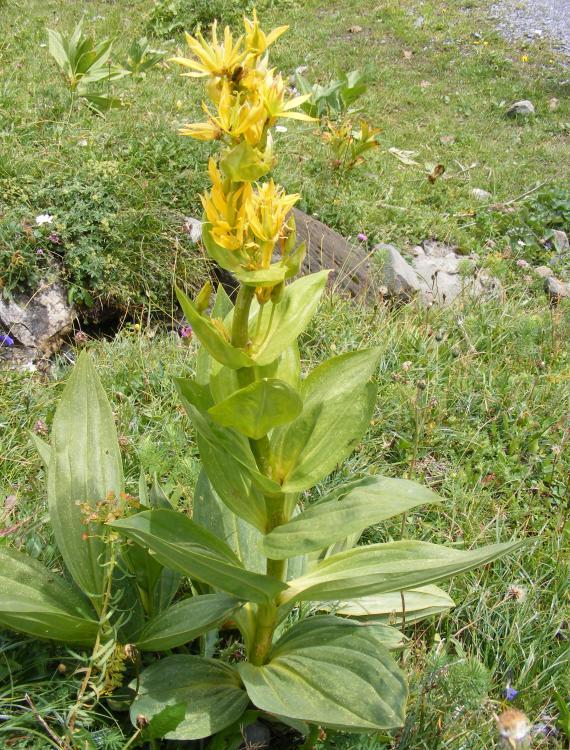 Горечавка жёлтая - целебное растение