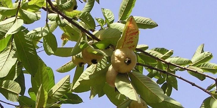 Дерево дьямбу