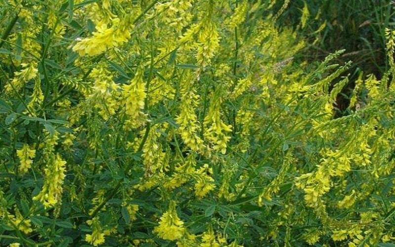 Полезное растение Донник лекарственнй